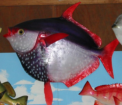 Fish taxidermy taxidermy by fintastic fish mounts fish for Opah fish price