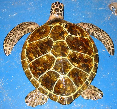 Small Loggerhead Turtle